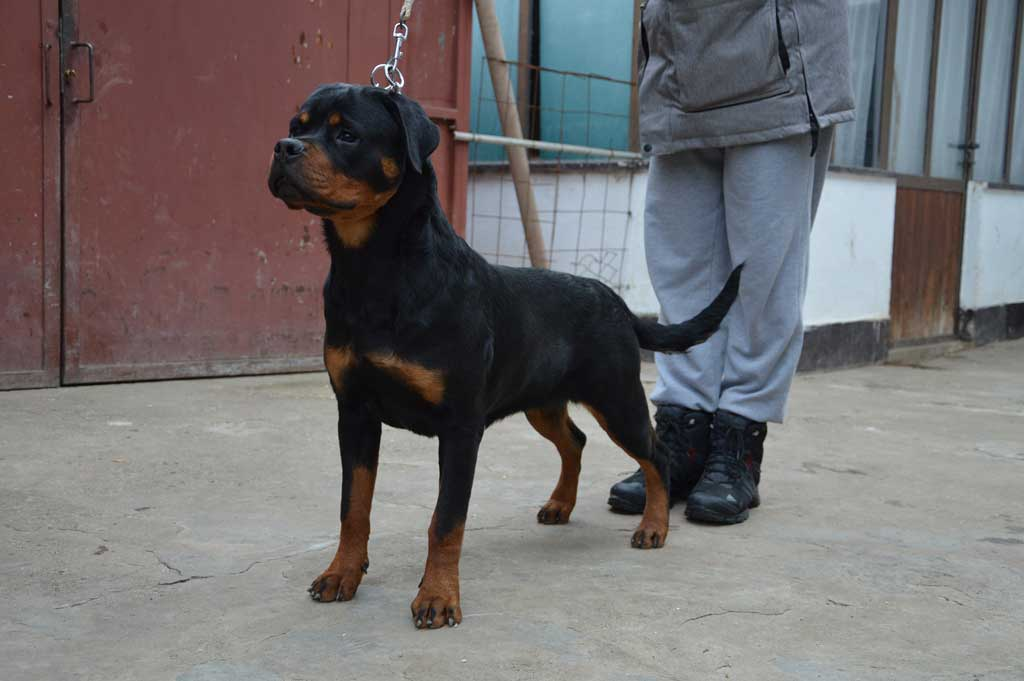 rottweiler alba black summit 11