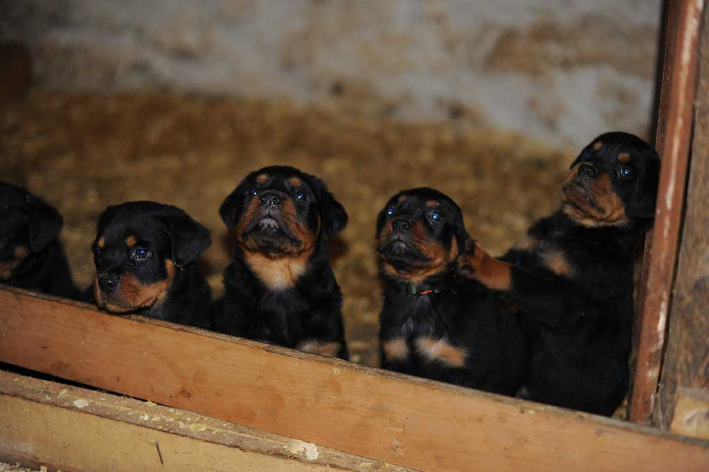 rottweiler puppies a litter 2