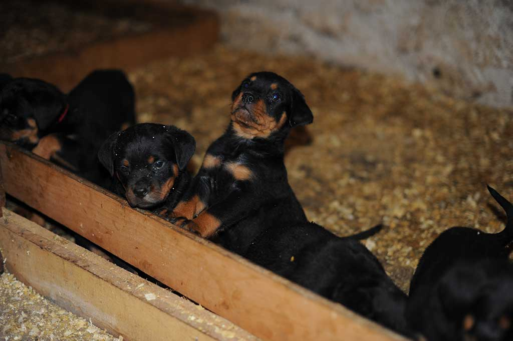 rottweiler puppies a litter 3