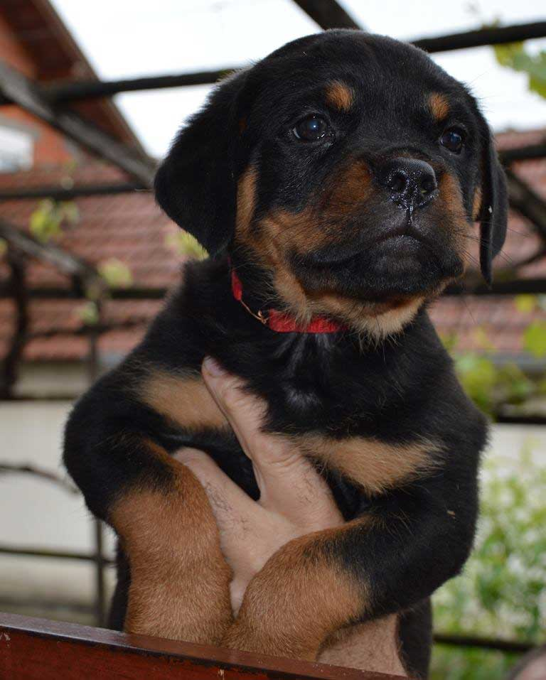 rottweiler puppies a litter female 21