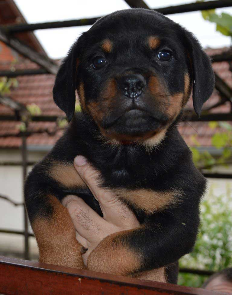 rottweiler puppies a litter female 23