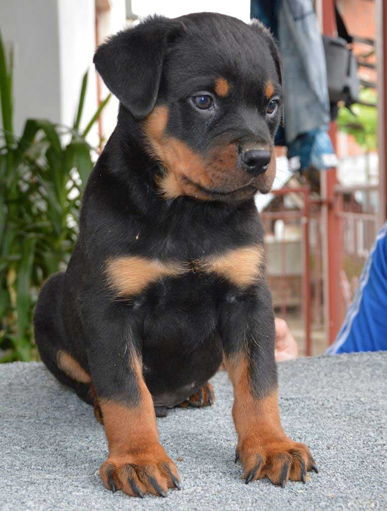 rottweiler puppies a litter male 28