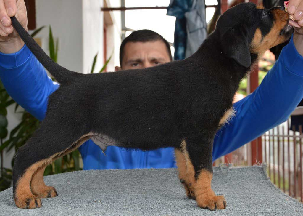 rottweiler puppies a litter male 41
