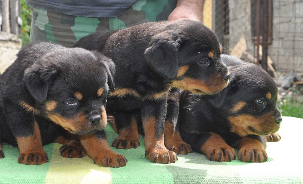 rottweiler puppies d litter 4