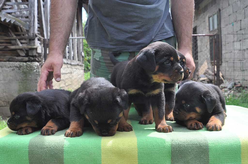 rottweiler puppies d litter 6