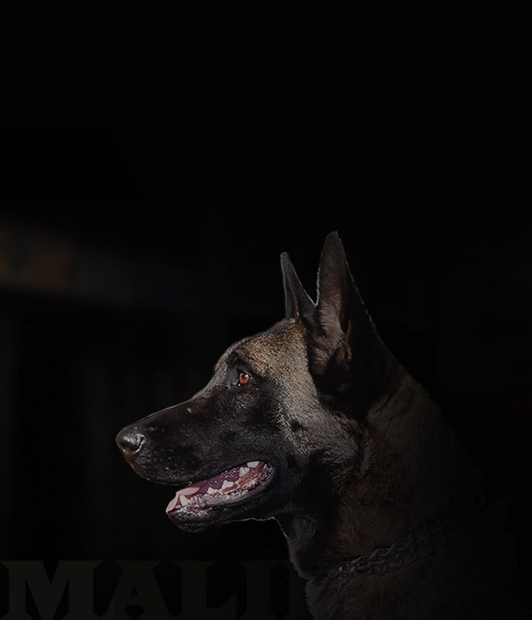 belgian malinois dog breed responsive
