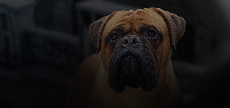 bullmastiff dog breed nav